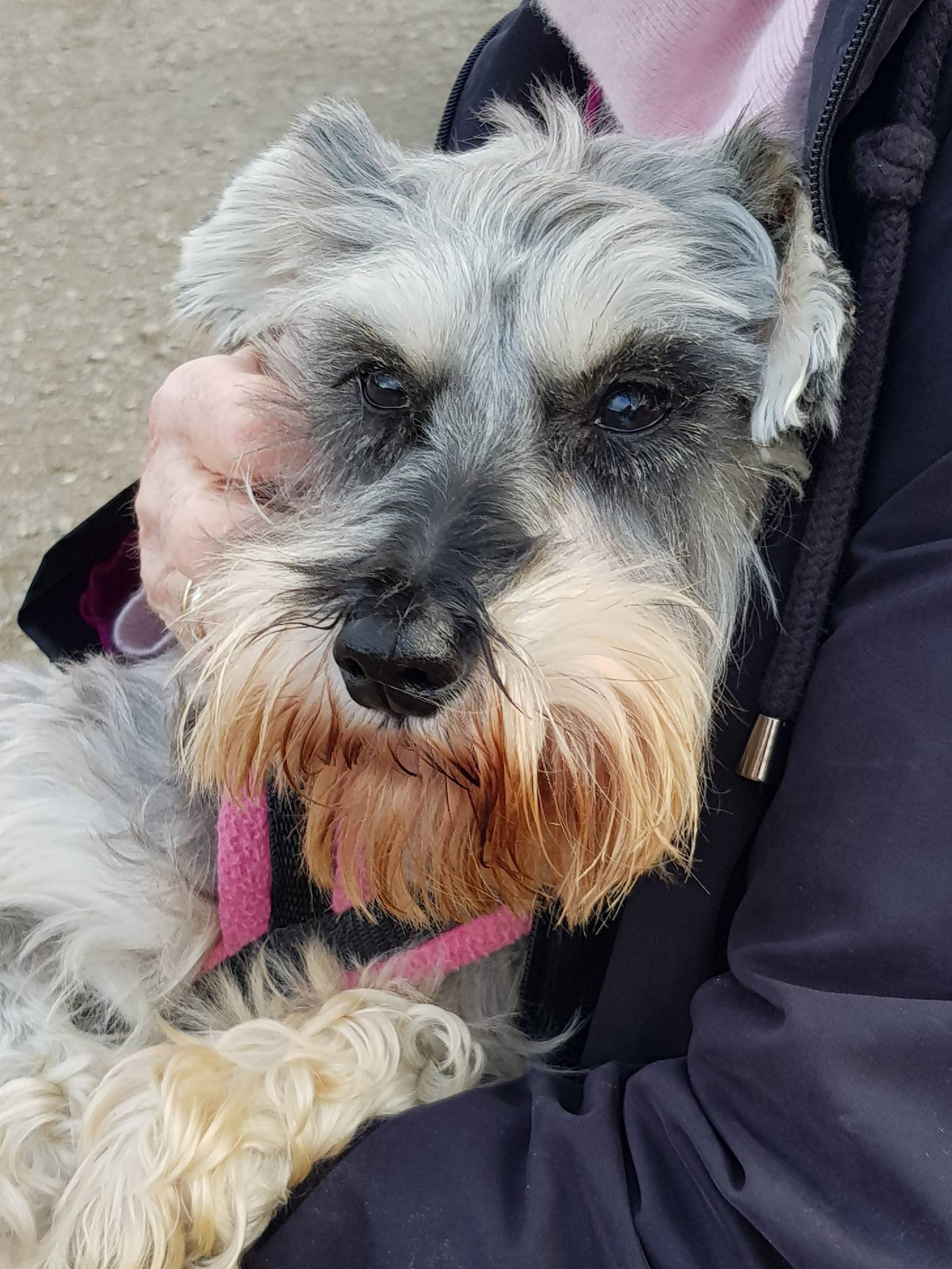 Martha enjoying mum's lap at her first Schnauzerfestive Walk, Bradgate Park, Dec 2018