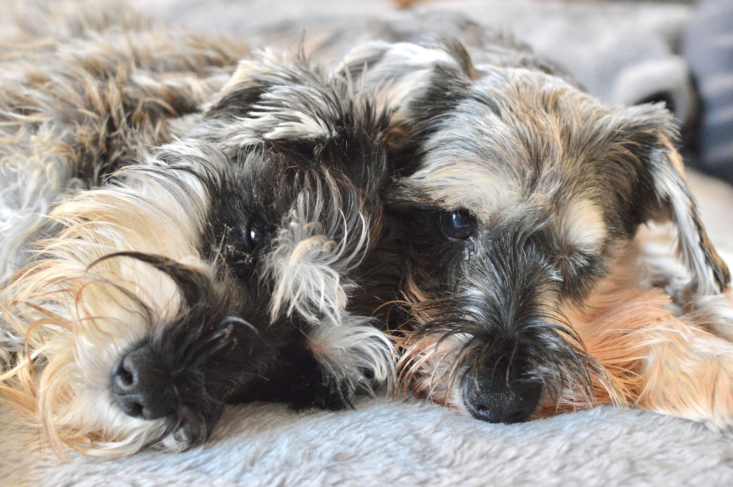 Violet and Gertie, both helped on their way to a new and wonderful life by Schnauzerfest donations
