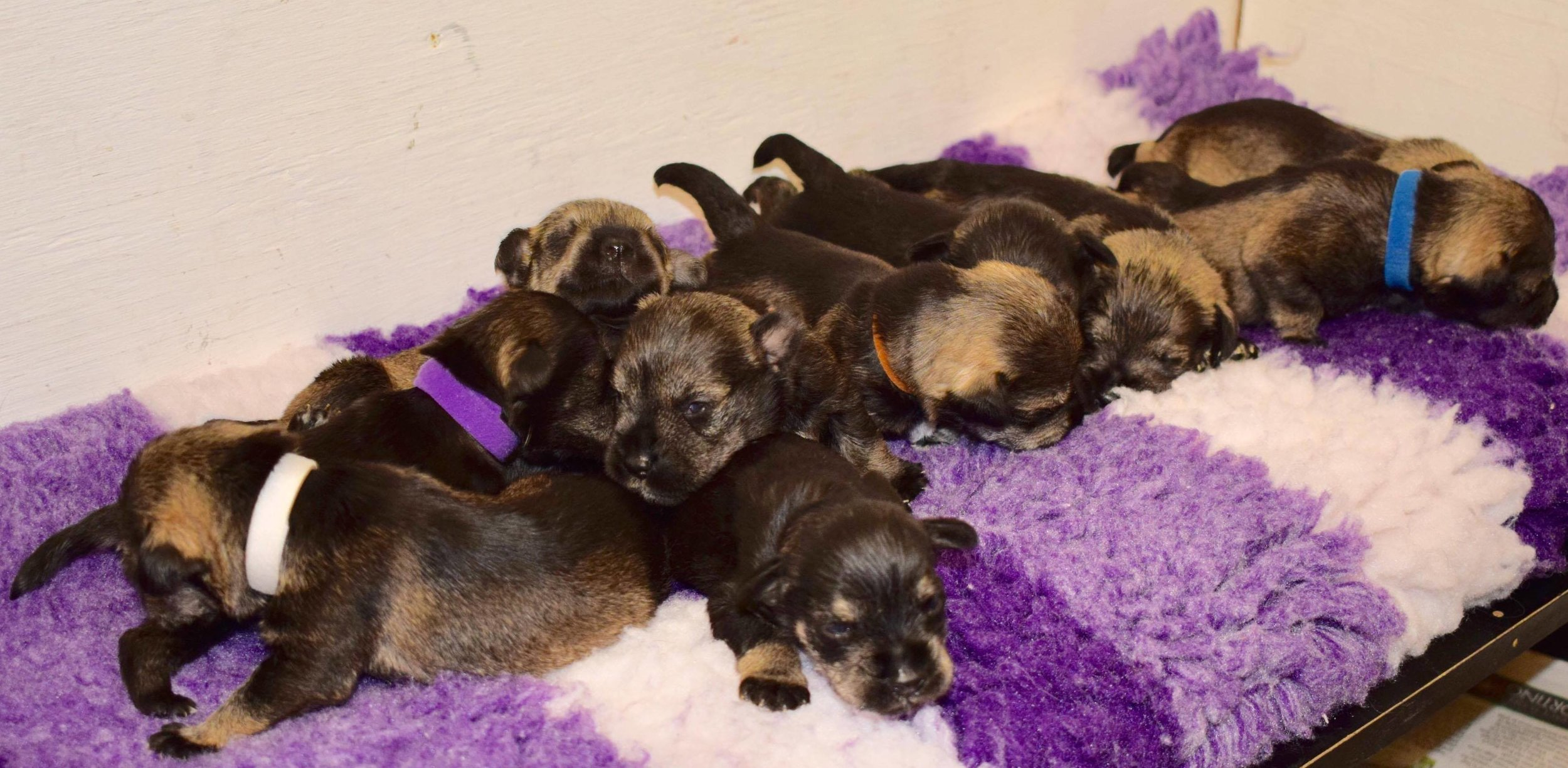 All ten of Lara's puppies, together and about to be reunited with mum.
