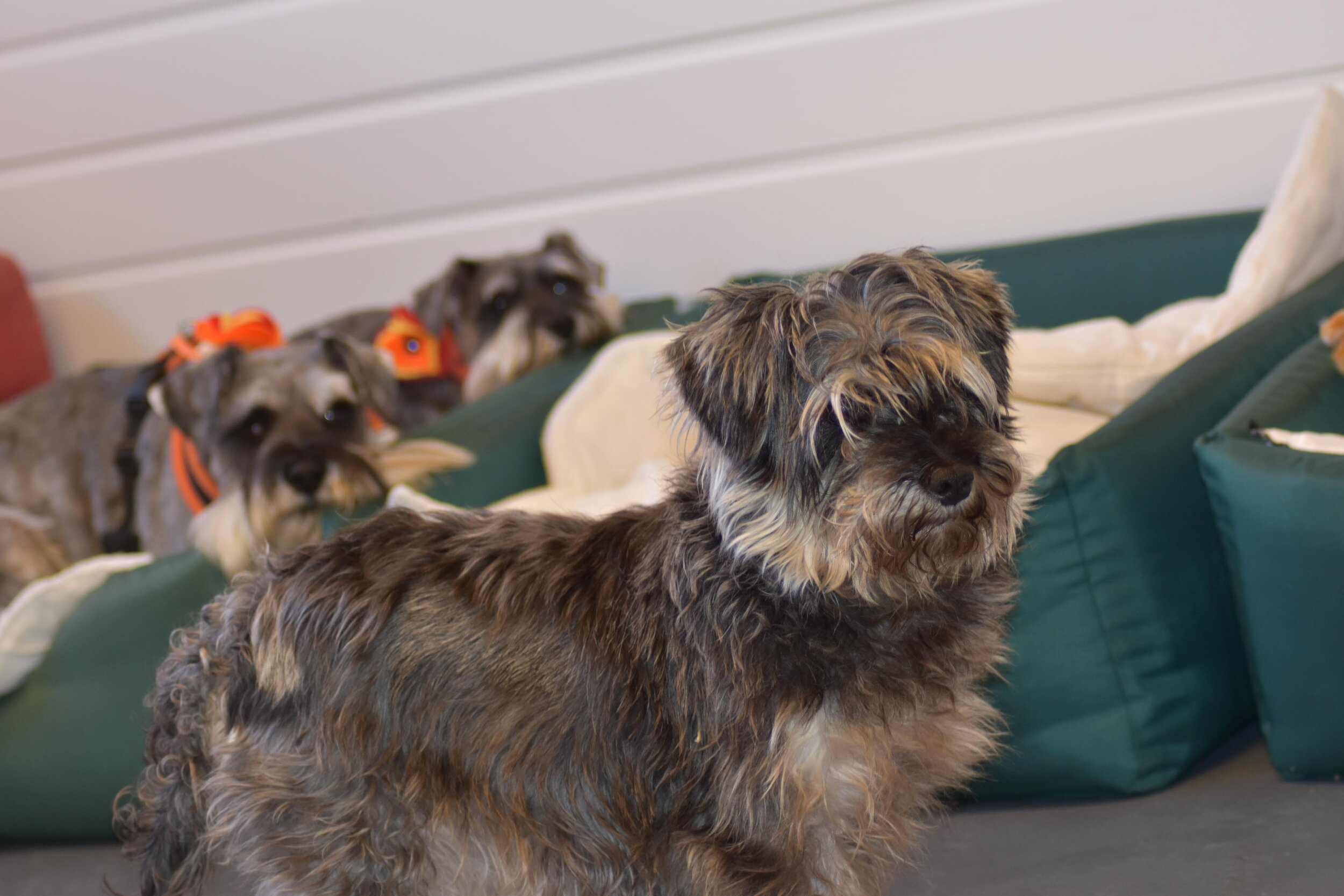 Meg being watched by previous Schnauzerfest beneficiaries Bella and Mabel who recently paid a visit to DBARC