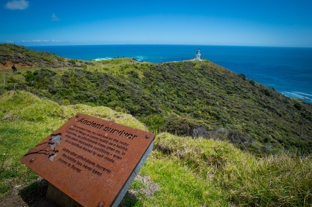Cape Reinga Ancient Survivor.jpg