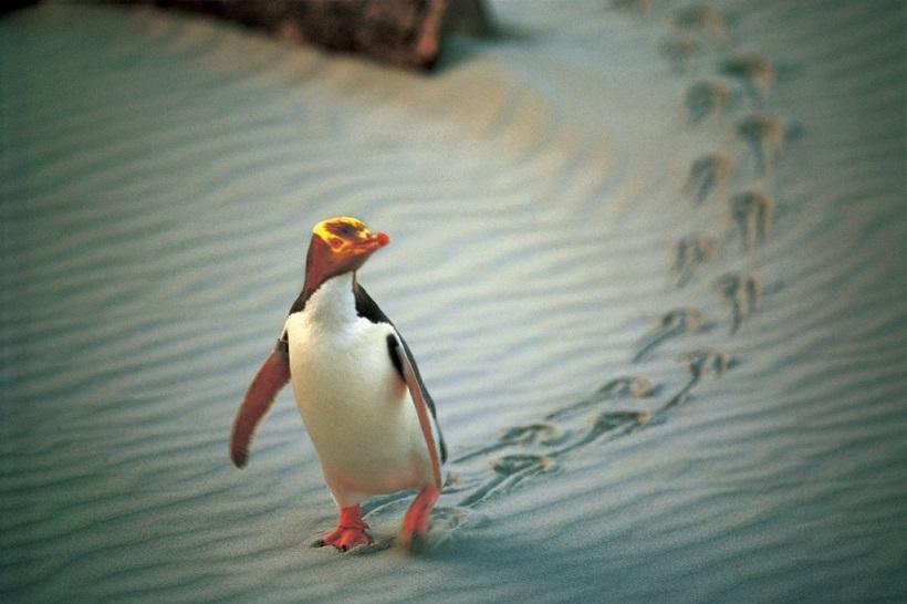 NA02-Penguin-Place-Otago.jpg
