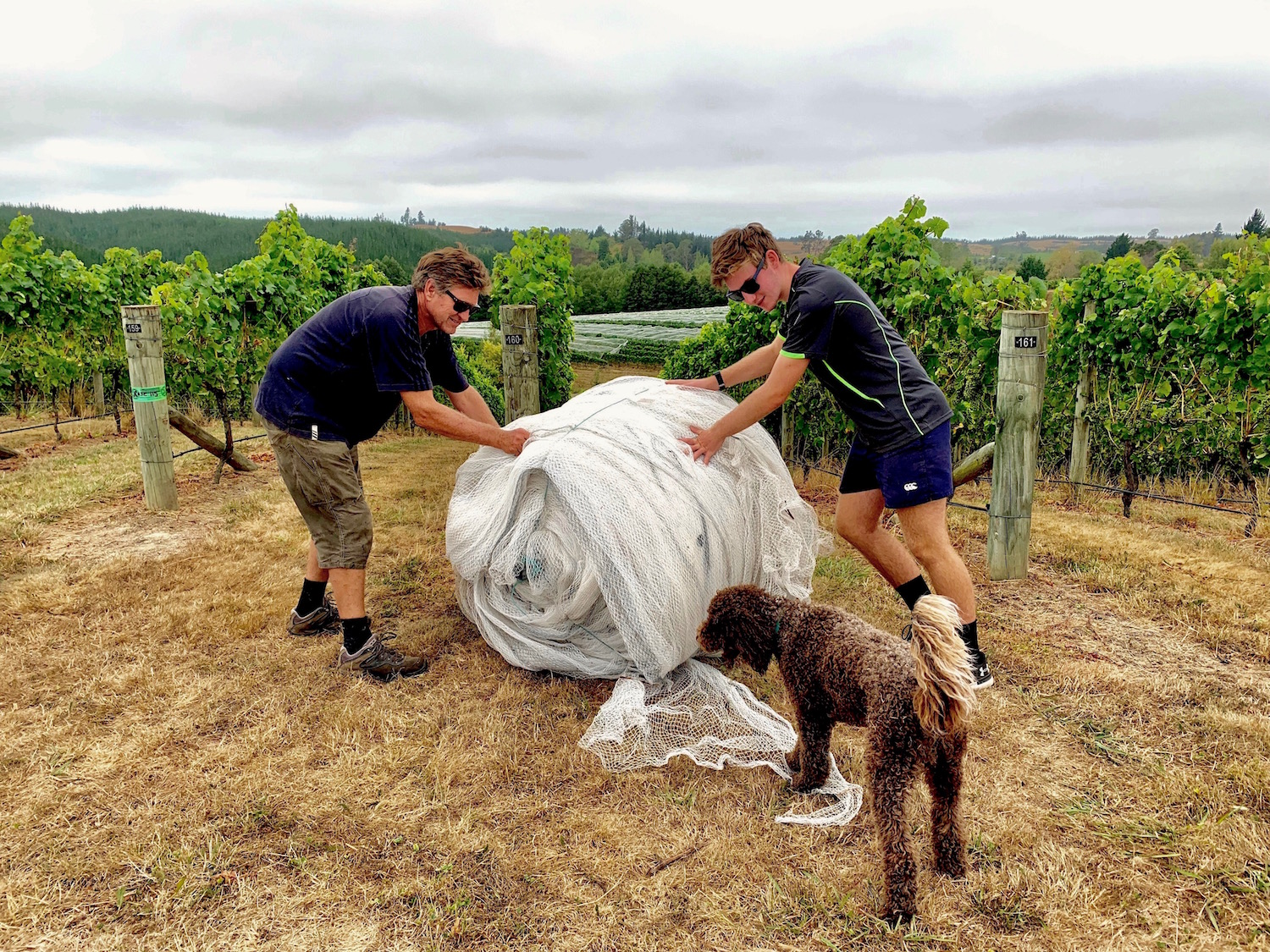 Flaxmore is a family vineyard, so the kids get involved whenever possible. Above, Robbie and Stuart get the nets ready to go onto Block 3 in 2018… with a little extra help from Barolo! Below, Issy helps Stuart in 2016 to number the rows in Block 2.