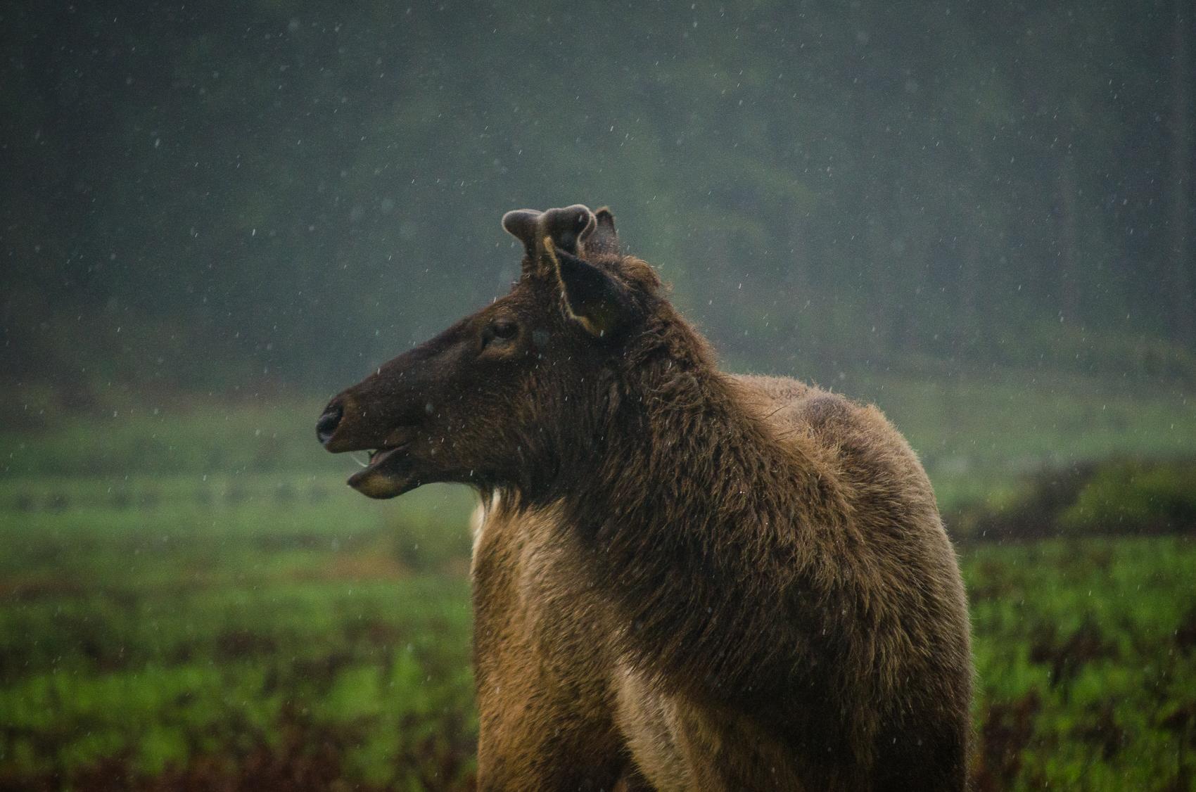Elk in the rainforest