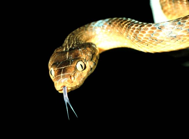 Brown Tree Snake (Public Domain)