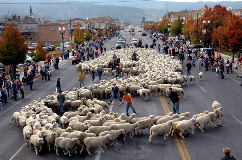 SheepParade_Cedarcity.jpg