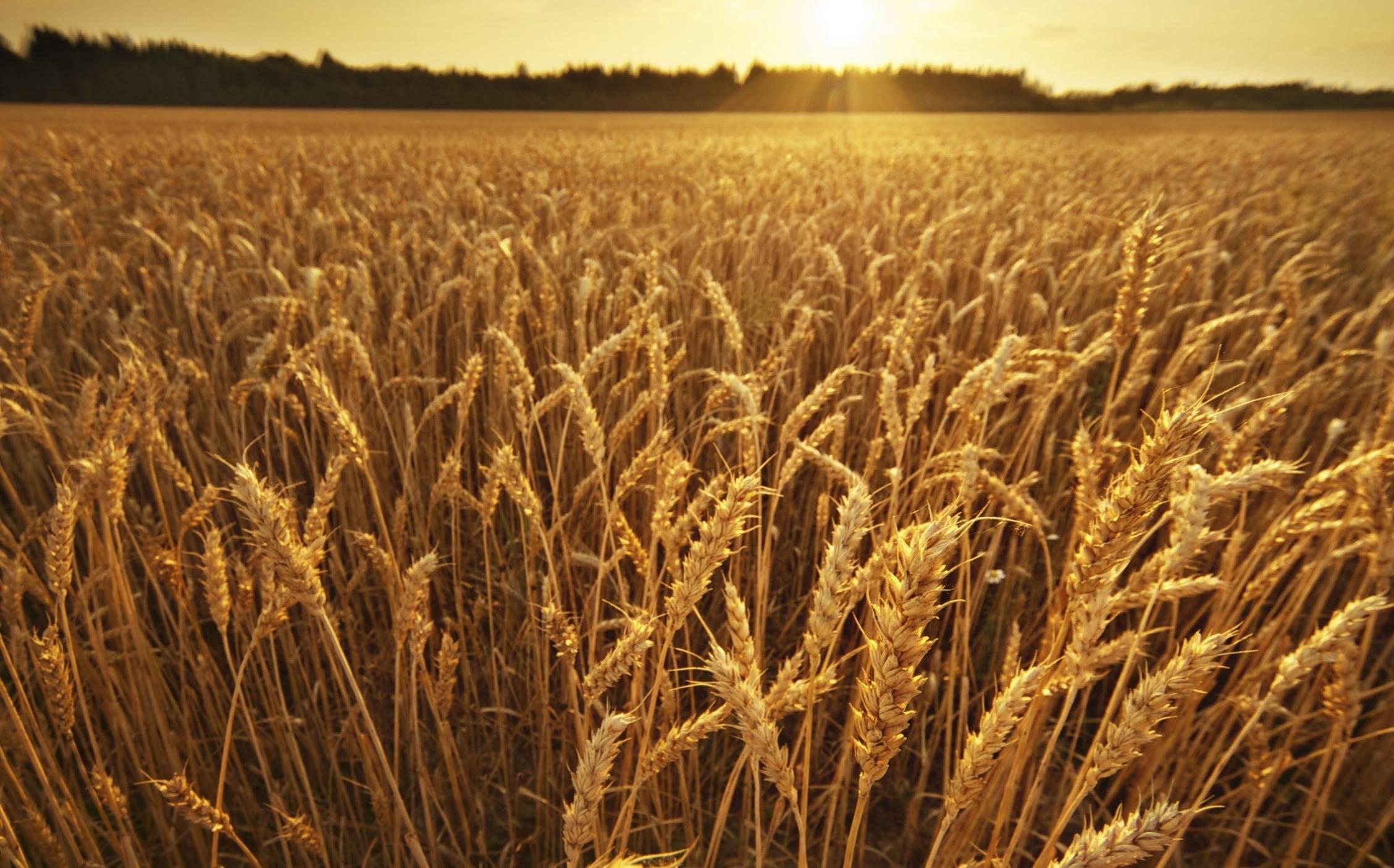 istock_wheat field.jpg