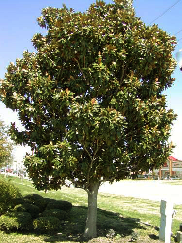 Our Plant Of The Week Pow Little Gem Dwarf Southern Magnolia Tree
