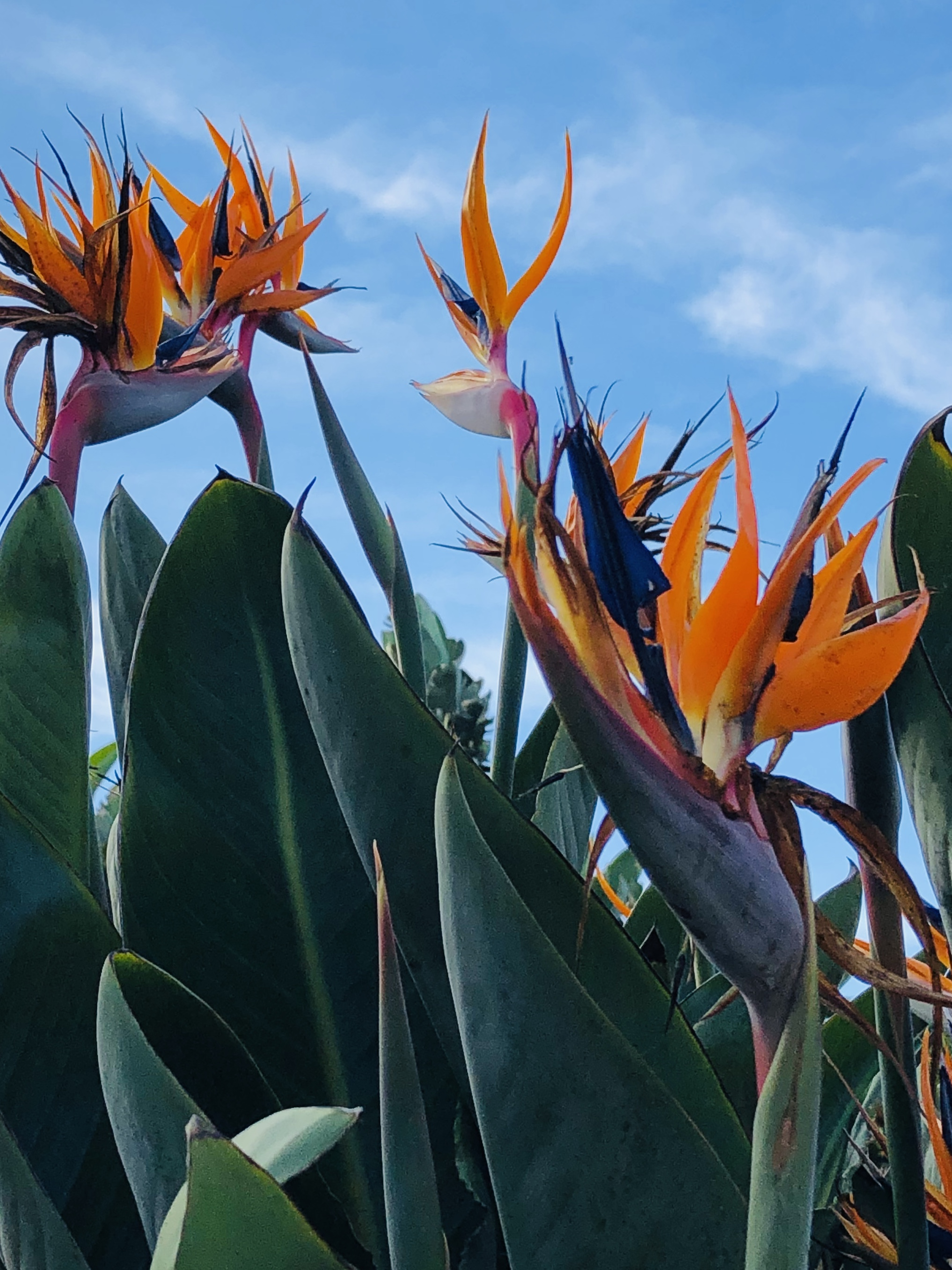 Gazing up with the Birds of Paradise - This view gives me pause to think about how humbling myself gives me new perspectives of creation and humanity that I would never have from looking down on those things. I am reminded that humility isn't about humiliation. Instead, for me, it's about meeting people where they are (not asking them to come up to where I am), serving those that often go unseen or unacknowledged (and in so doing, seeing what Love looks like) and gaining new and deeper understanding of who God is.