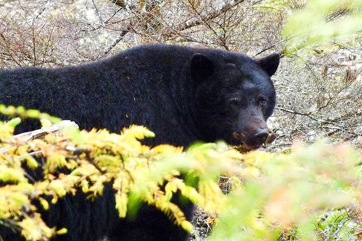 kapoose-creek-black-bear-1.1400x0.jpg
