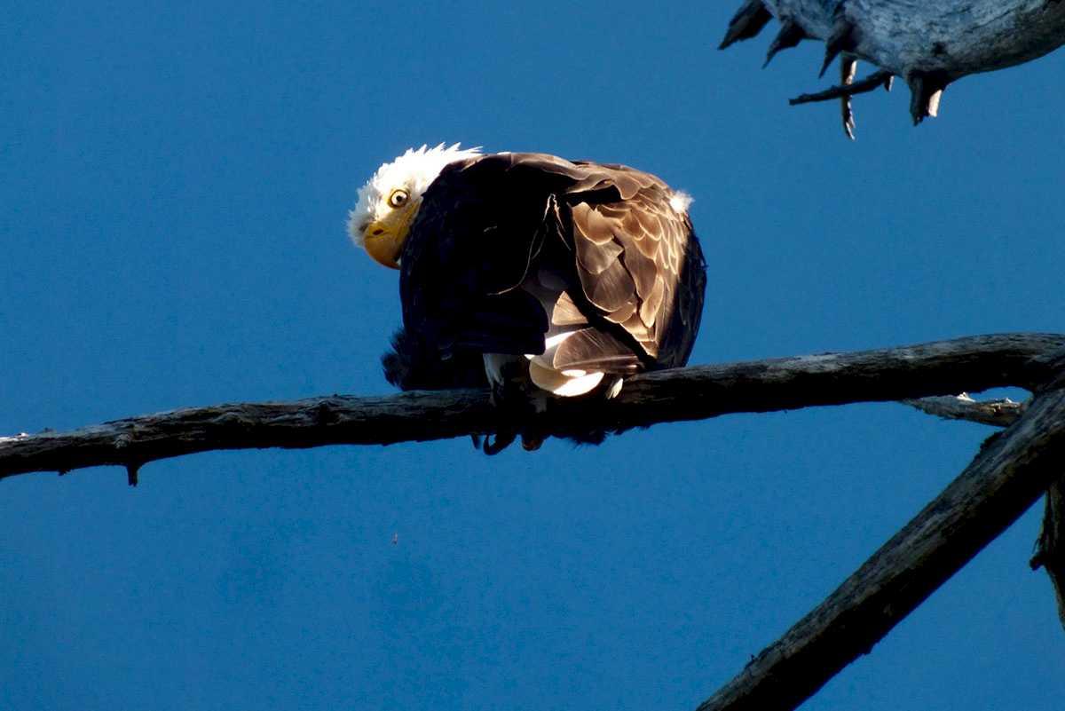 kapoose-creek-eagle.1400x0.jpg