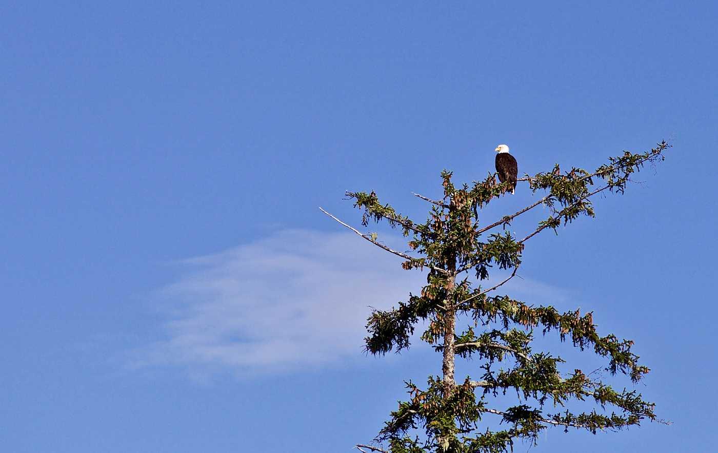 kapoose-creek-retreat-bald-eagle.1400x0.jpg