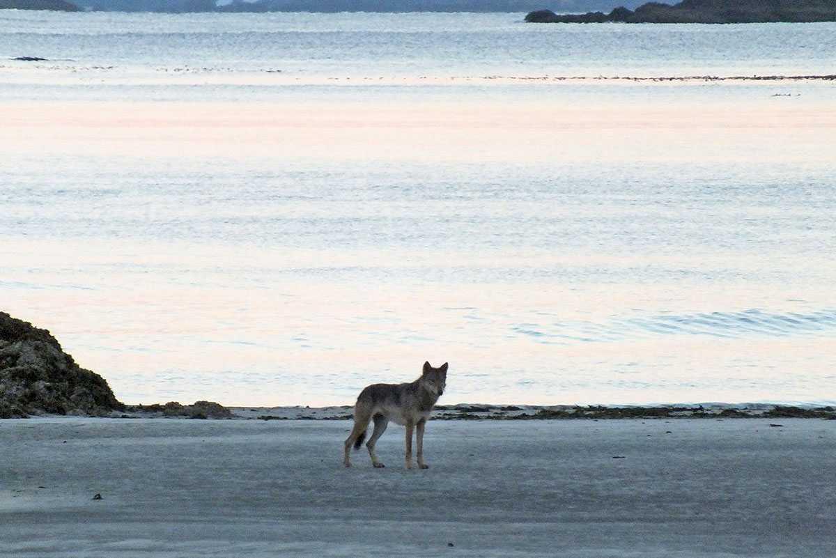 kapoose-creek-wolf-a.1400x0.jpg