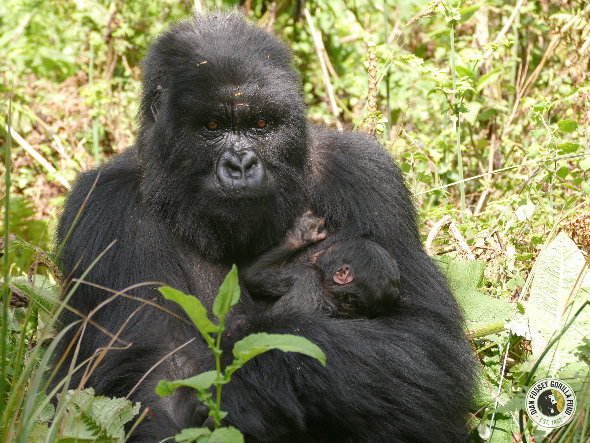 Mom Ishyaka and new baby (c) Dian Fossey Gorilla Fund