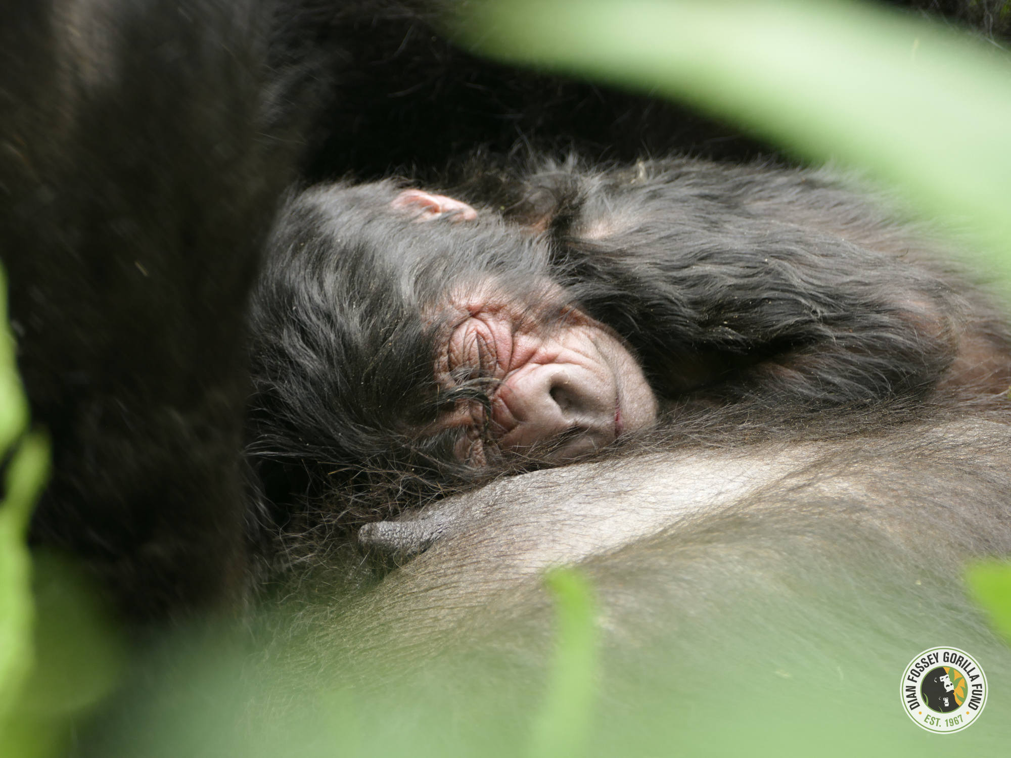 Born on World Gorilla Day! (c) Dian Fossey Fund