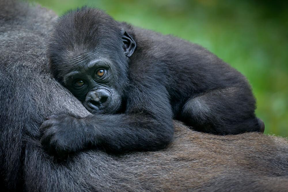 gorilla-facts-01.jpg