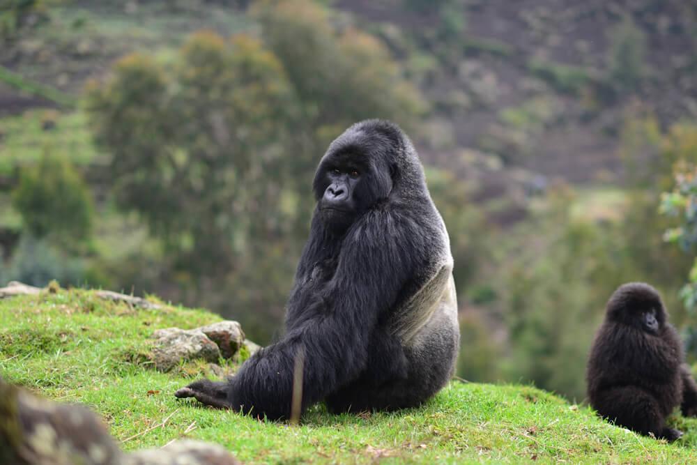 gorilla-facts-02.jpg