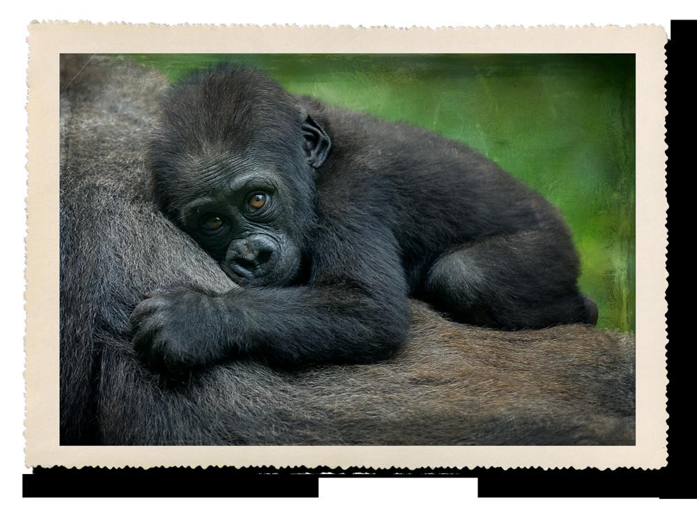 sleeping-gorilla.png