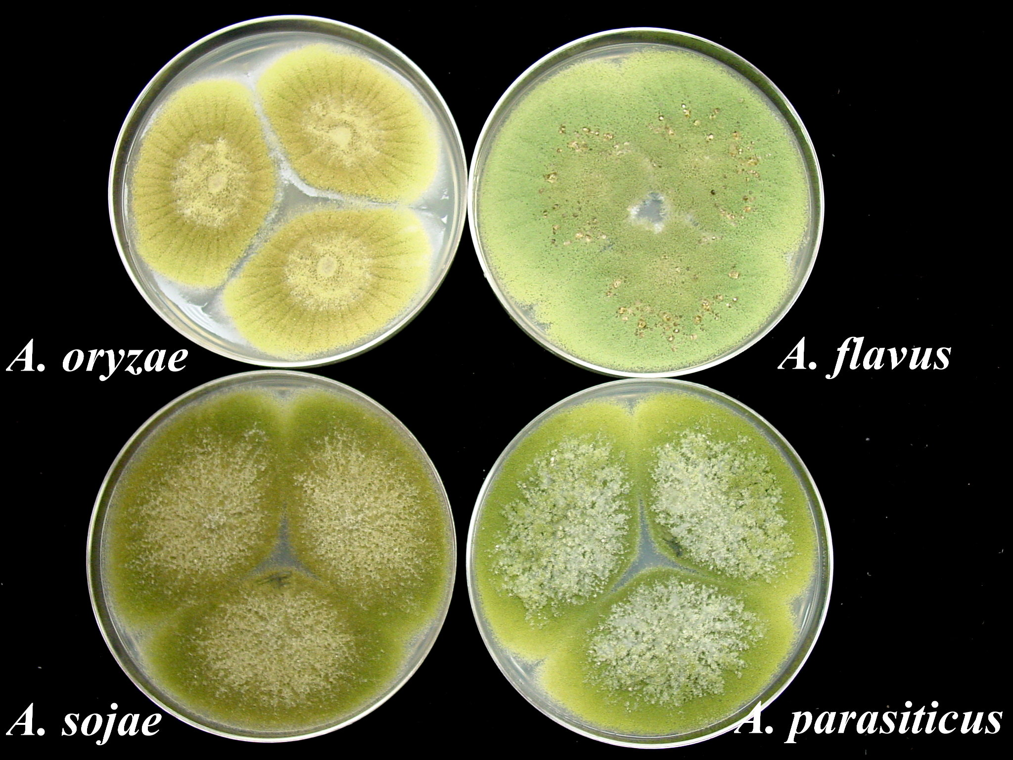 Experts in mold identification - Our technicians are experts in mold identification using molecular tools and confirming each culture with classical methodology. Information on the preservative resistance and other physiological properties (temperature of growth, etc.) of each culture will be provided as well as information on its ecology and mycotoxin(s) production.