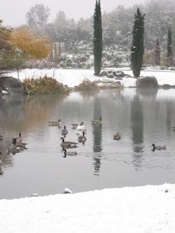 ducks-in-snow-pond1.jpg