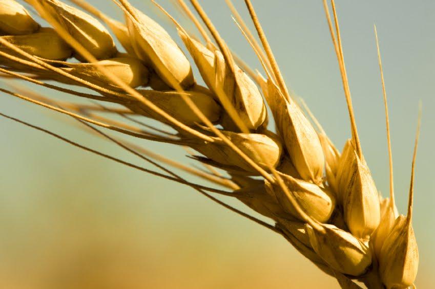 wheat-closeup.jpg