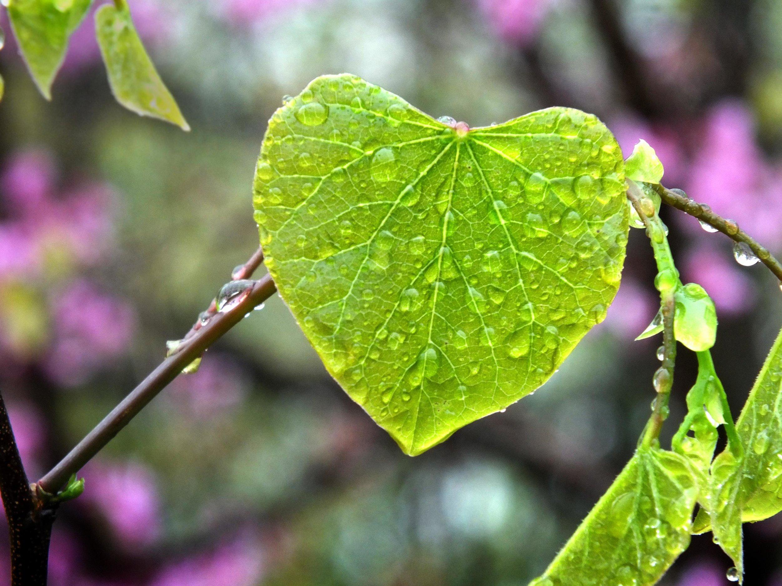 heart-leaf-rain.jpg