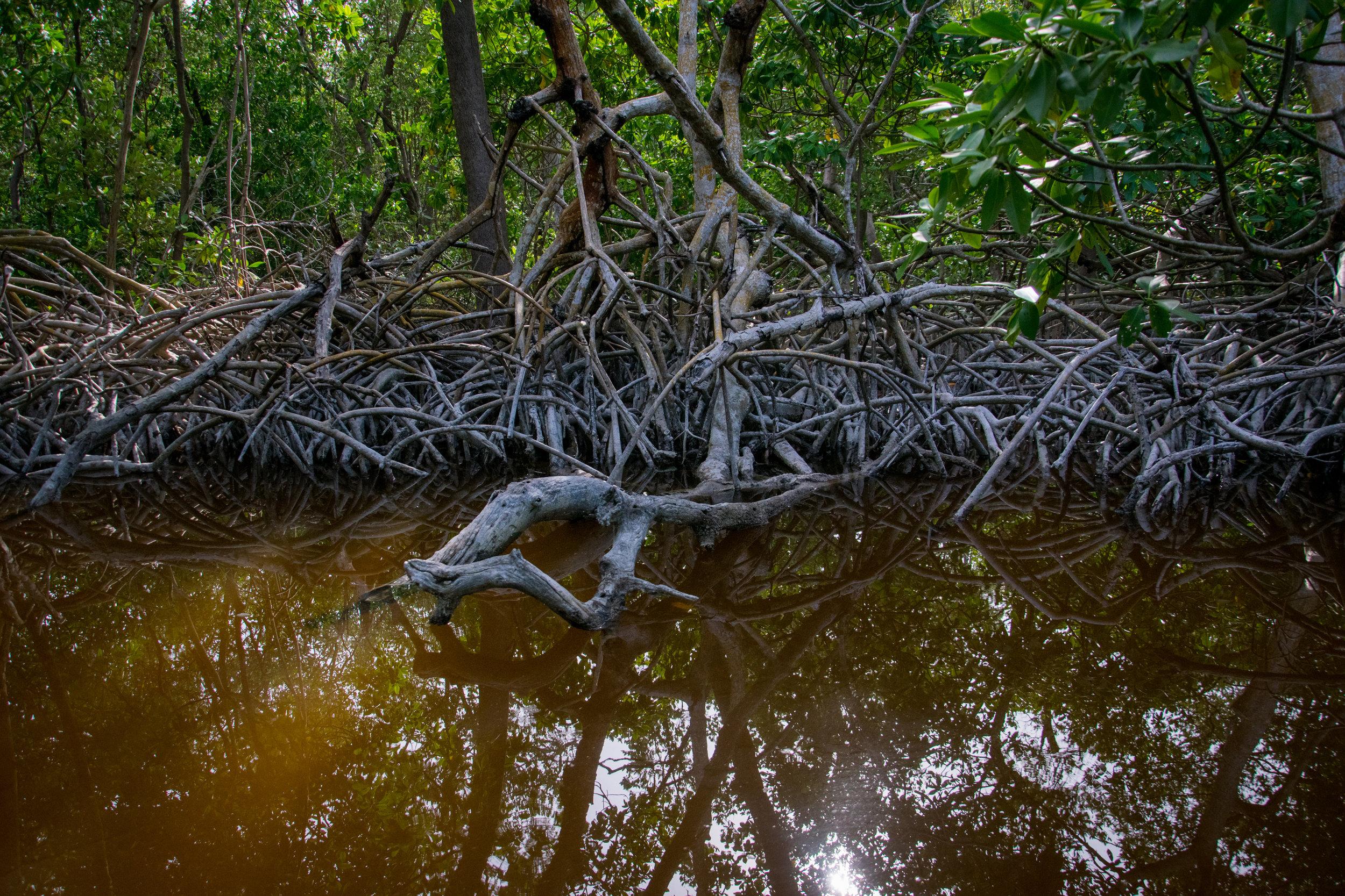 The Mangroves of Dizinitun