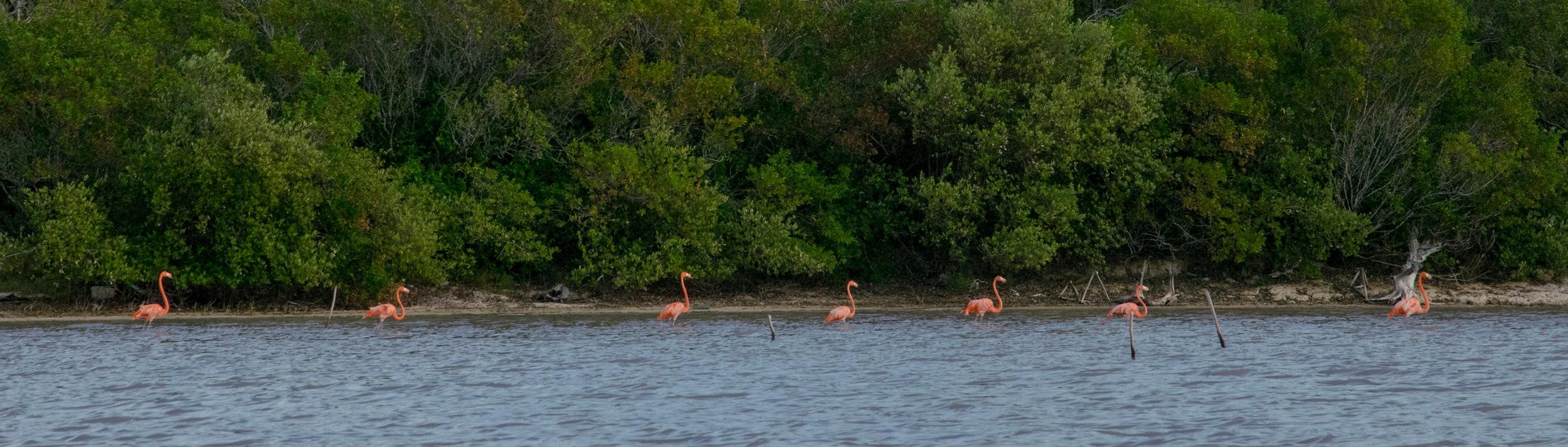 Flamingos in the Celestun Biosphere Reserve