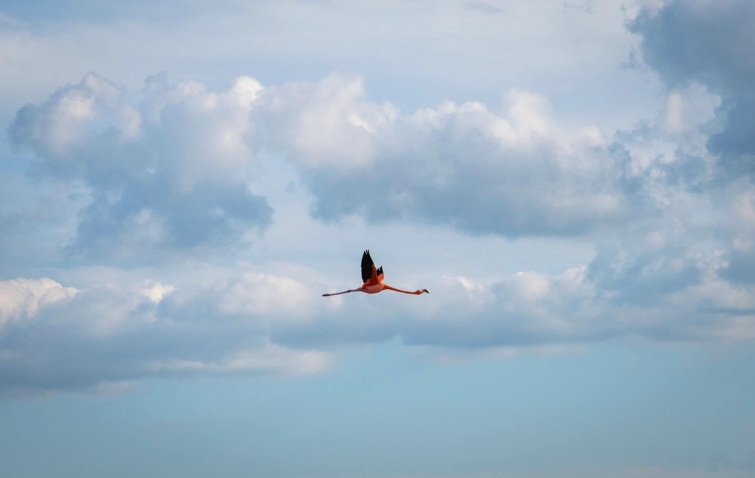 Flying Flamingo in the Celestun Biosphere Reserve
