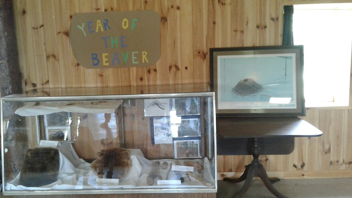 Come Visit our Beaver Exhibit in the Museum! -