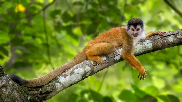 600-lazy-squirrel-monkey.jpg