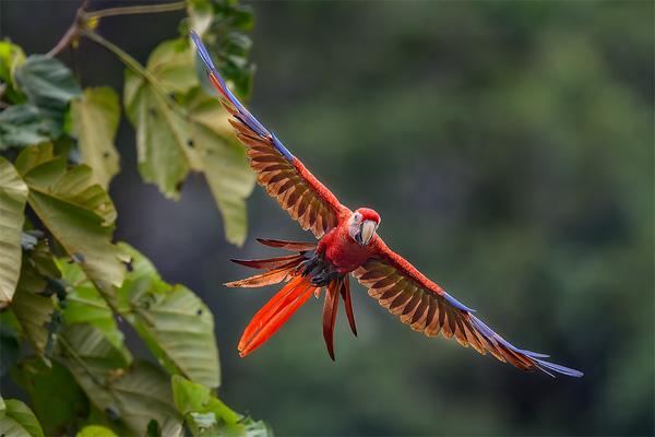 600-macaw-in-flight.jpg