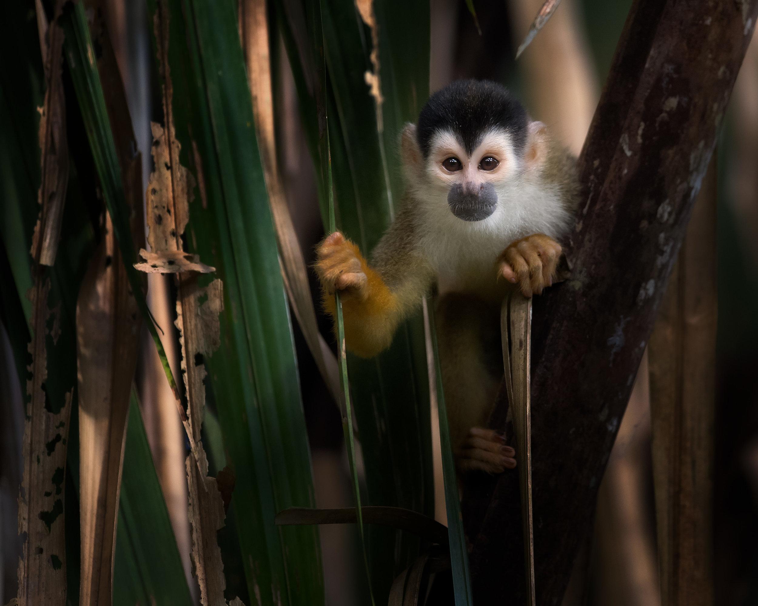 peeking squirrel monkey.jpg