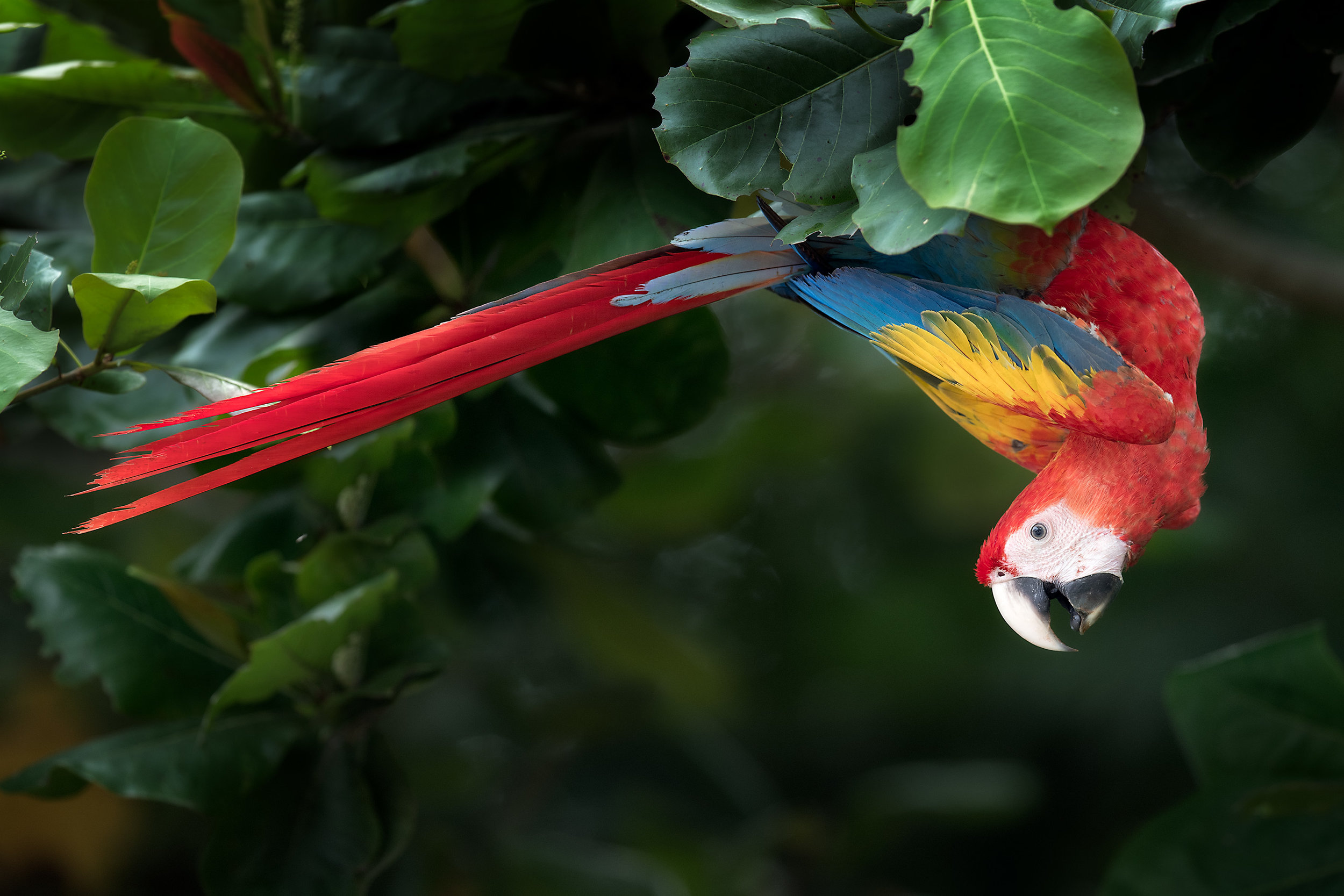 upside down macaw.jpg