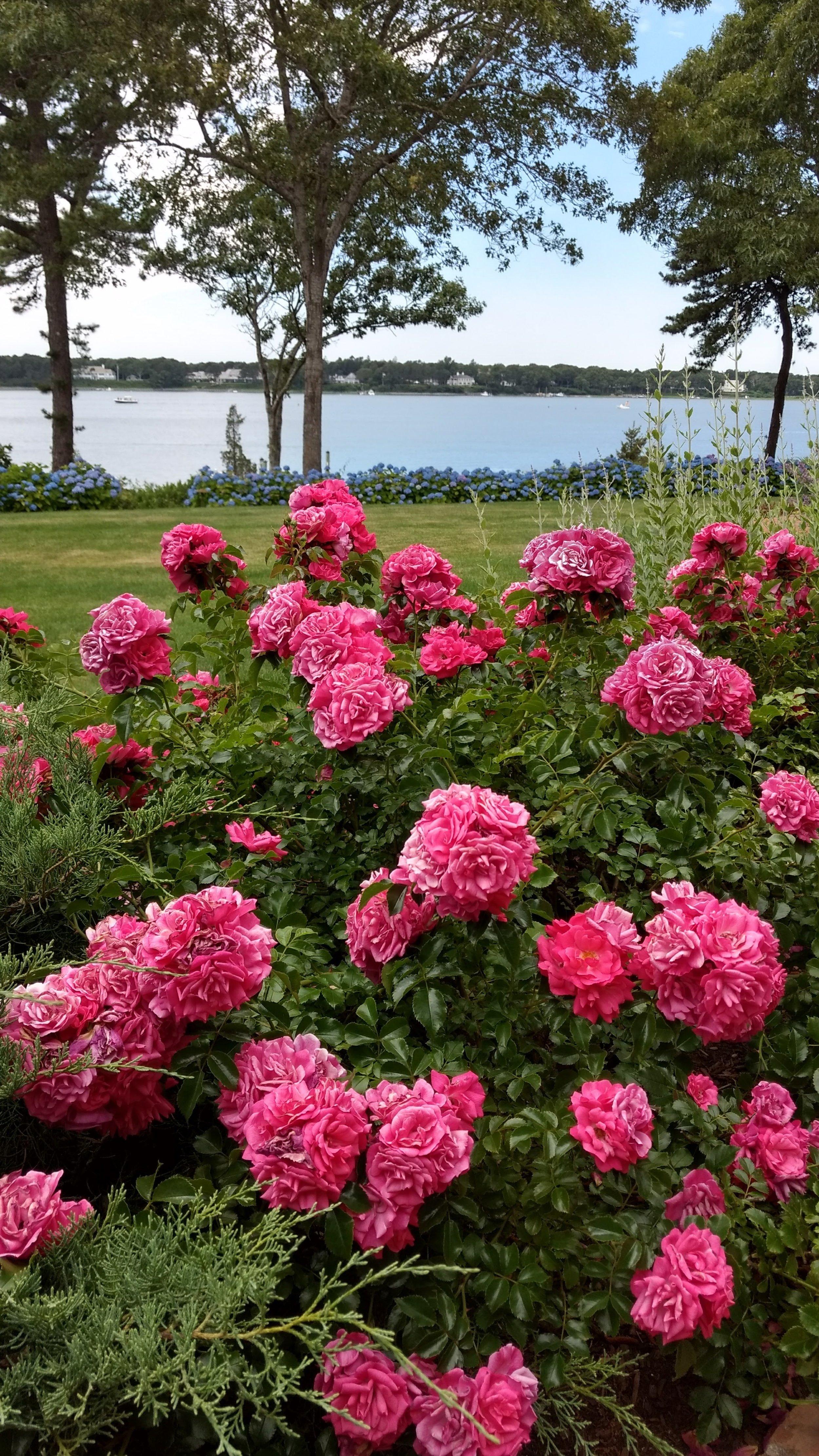 Rose & Hydrangea Care