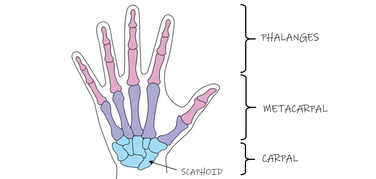 scaphoid.PNG