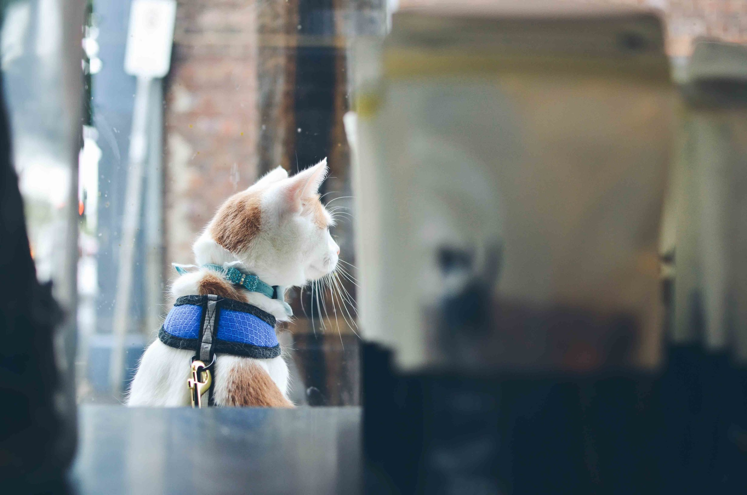 Lumos looking out the window at The Pet Grocer