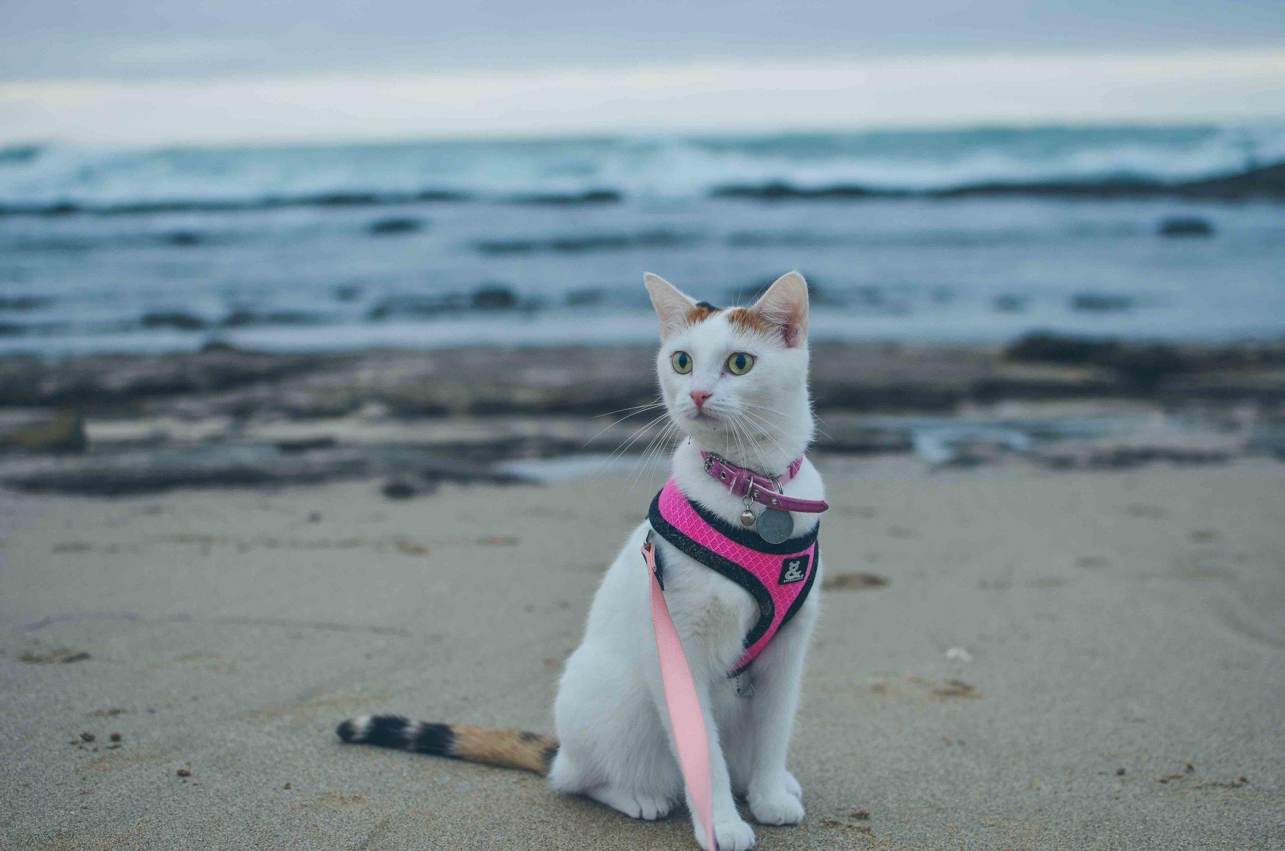 Noxie the beach kitty