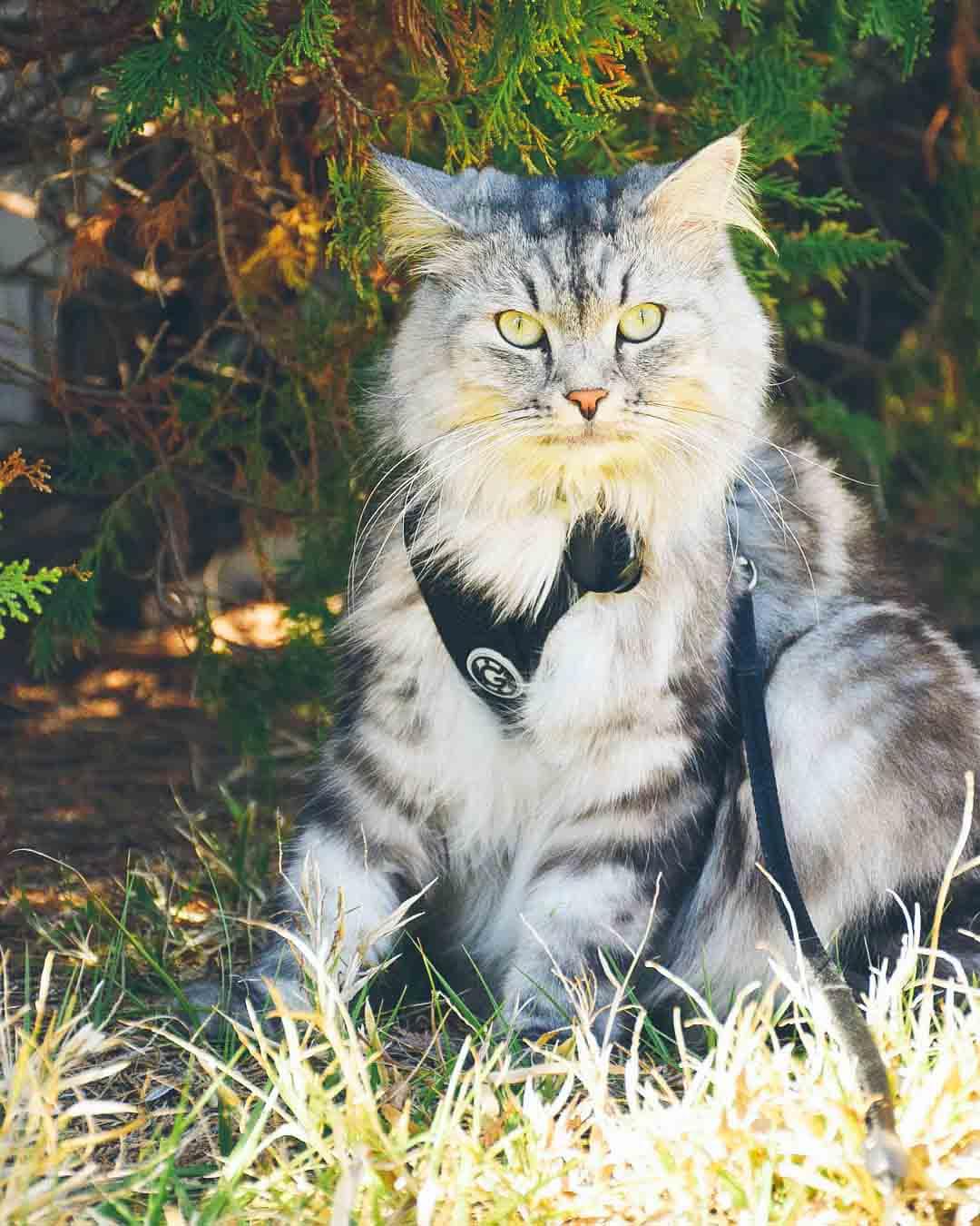 Instagram: @shishi.haku.lovecats