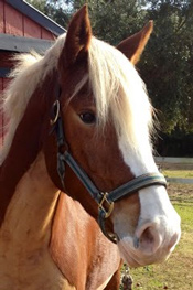 Name:  Buttercup  Breed: Halflinger Mare Date of Birth: 2005 History: Trail Riding, Eventing  Owned by Ann Stanton