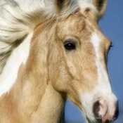 Name:  Woodstock  Breed: Draft Cross Gelding Date of Birth: 2003 History: Trail Riding, Driving  Donated by Bonnie Bomba