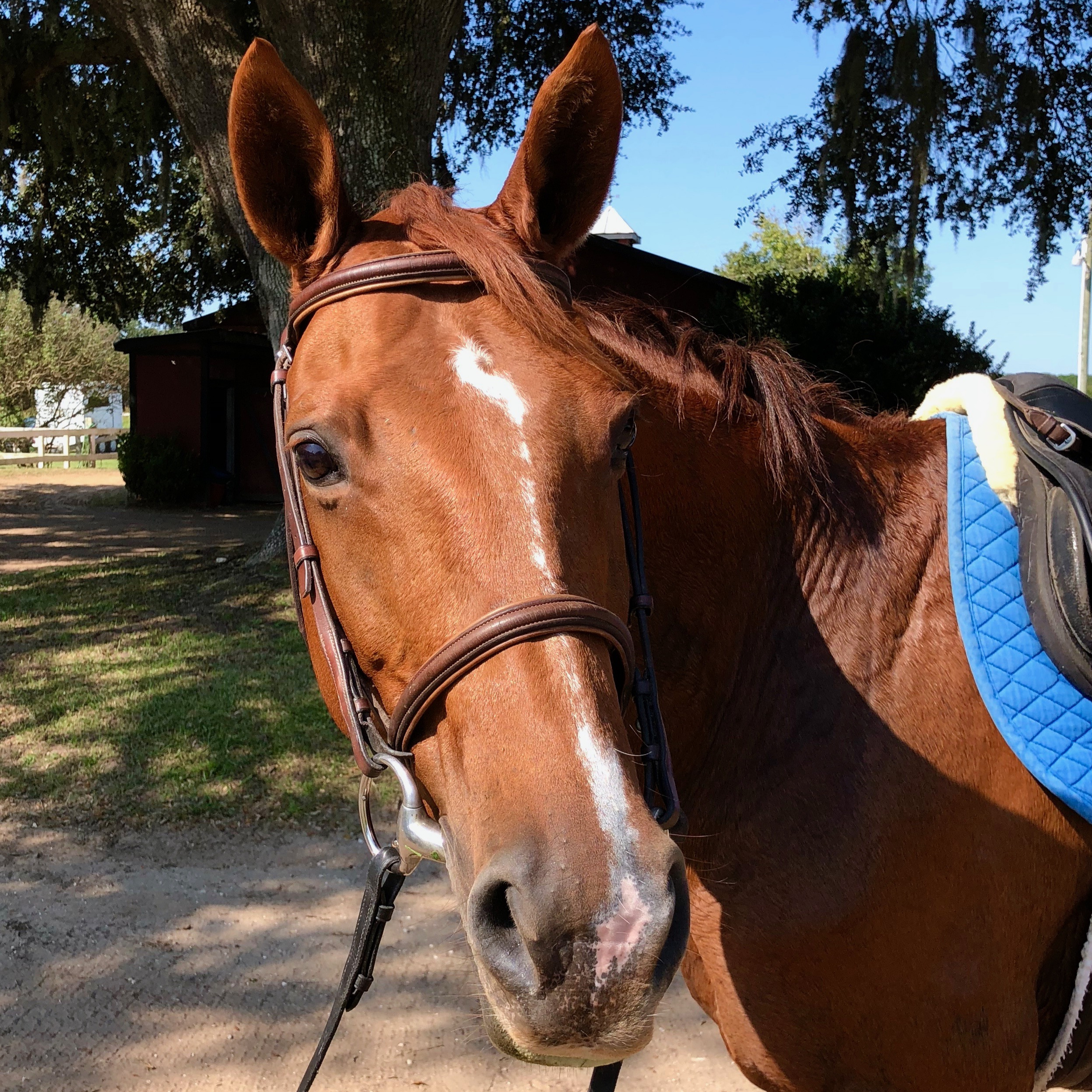 Name:  Rose  Breed: Hanoverian/Thoroughbred cross Date of Birth: 2006 History: Fox Hunting, Trail Riding