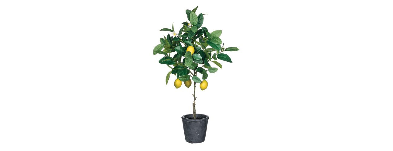 lemon_tree_1600x1600.jpg