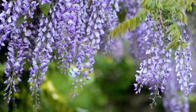 Acacia-Glycine-Mov-Wisteria-Spring-Tree-Flowers-1363891-680x390.jpg