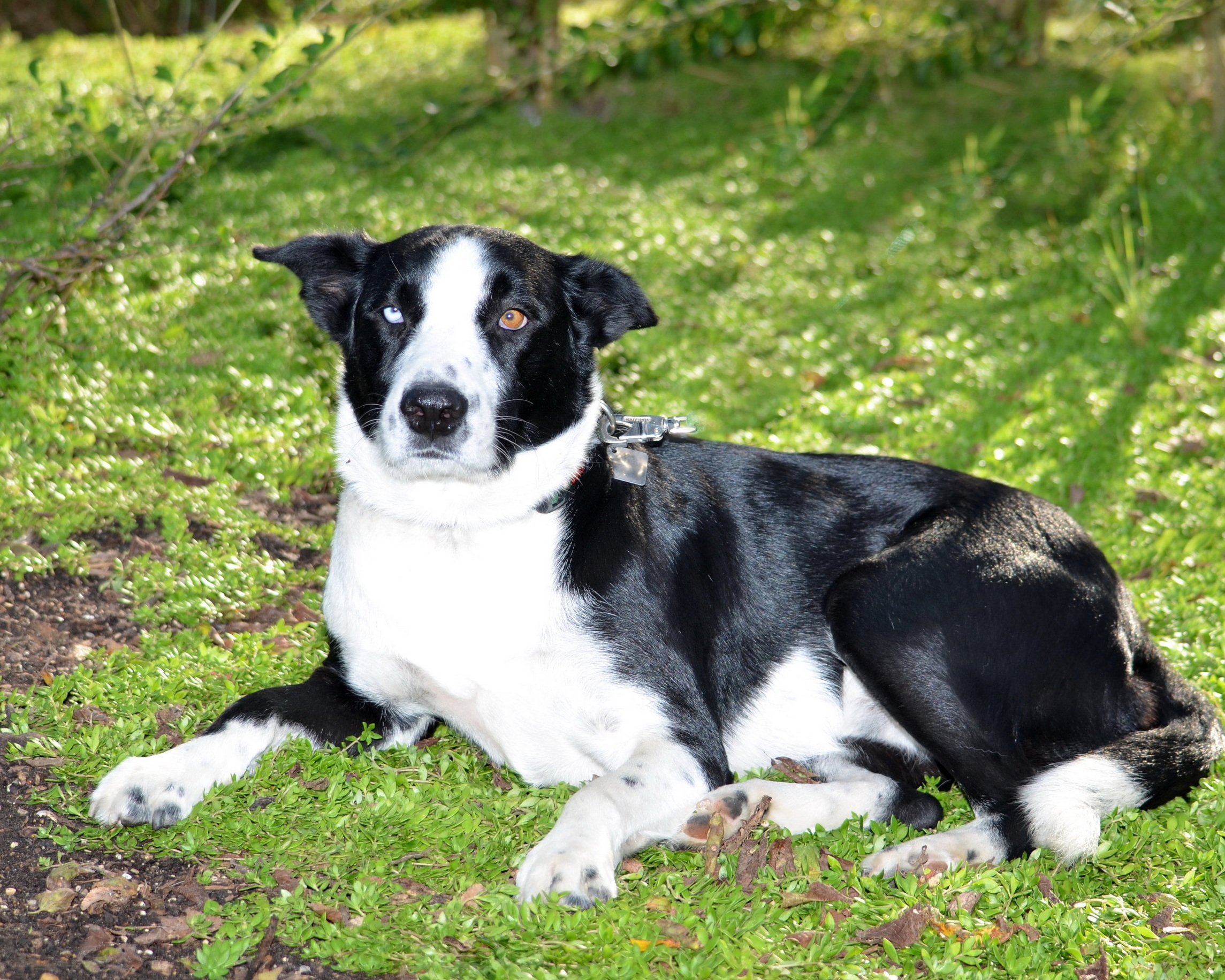 JACK - Jack is a spunky border collie who loves everyone. His owner is Sue Weston, owner of Weston Gardens. You will find Jack at our garden center waiting to get his belly rubbed. He howls at Sue to hurry up every morning, until she takes him to our plant nursery.