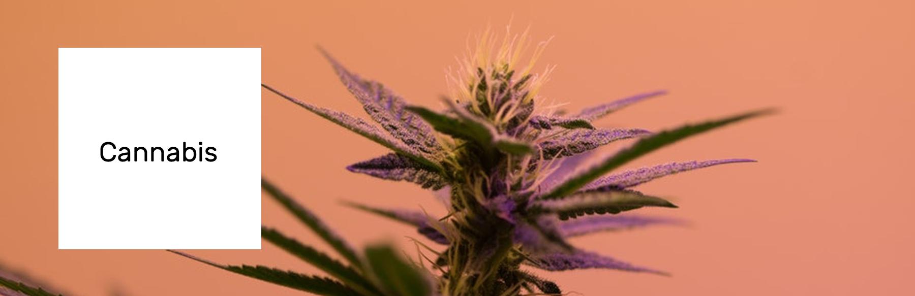 cannabis_xp.jpg