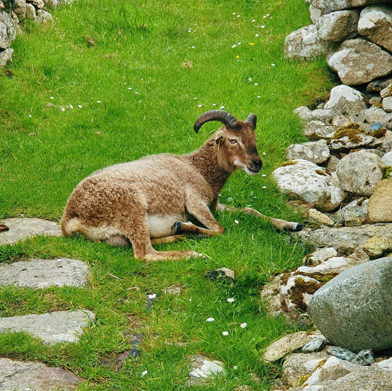 st kilda sheep.jpg