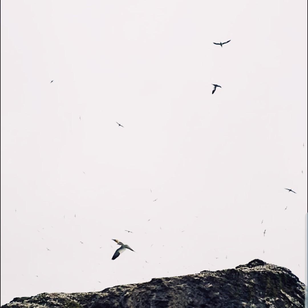 st kilda birds in air.jpg