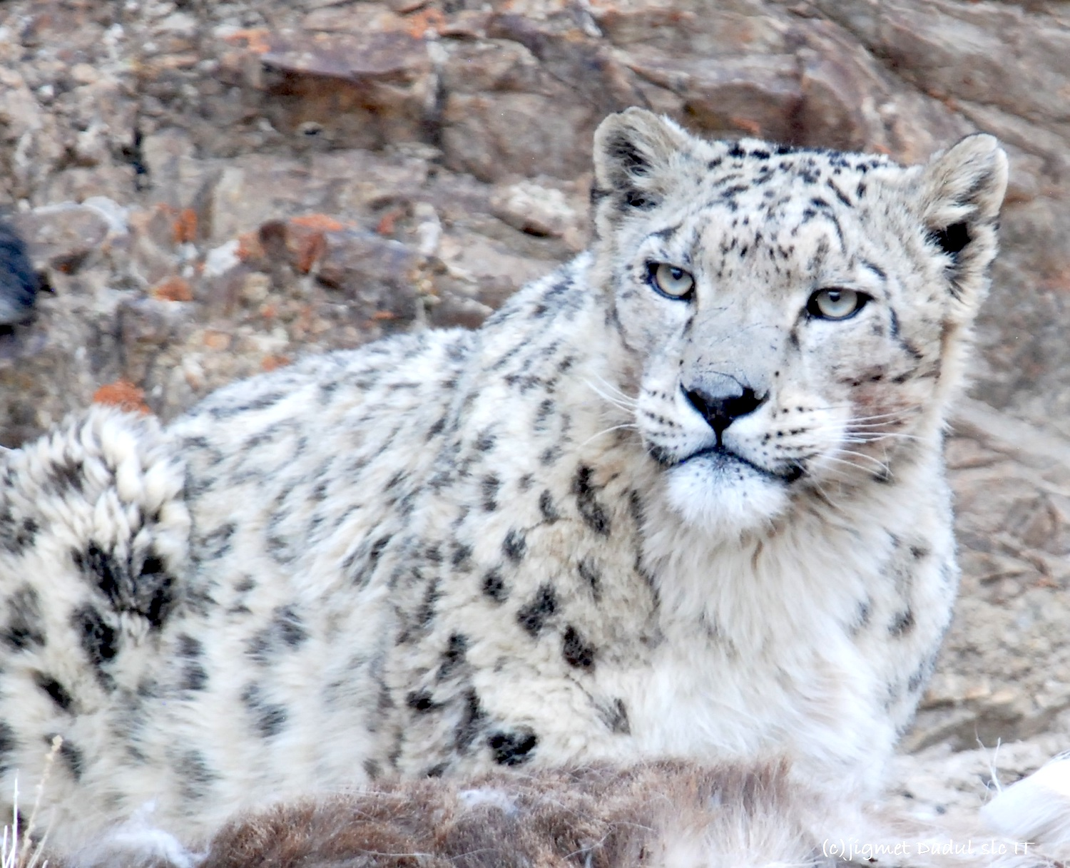 Study abroad and work with the Snow Leopard Conservancy India Trust
