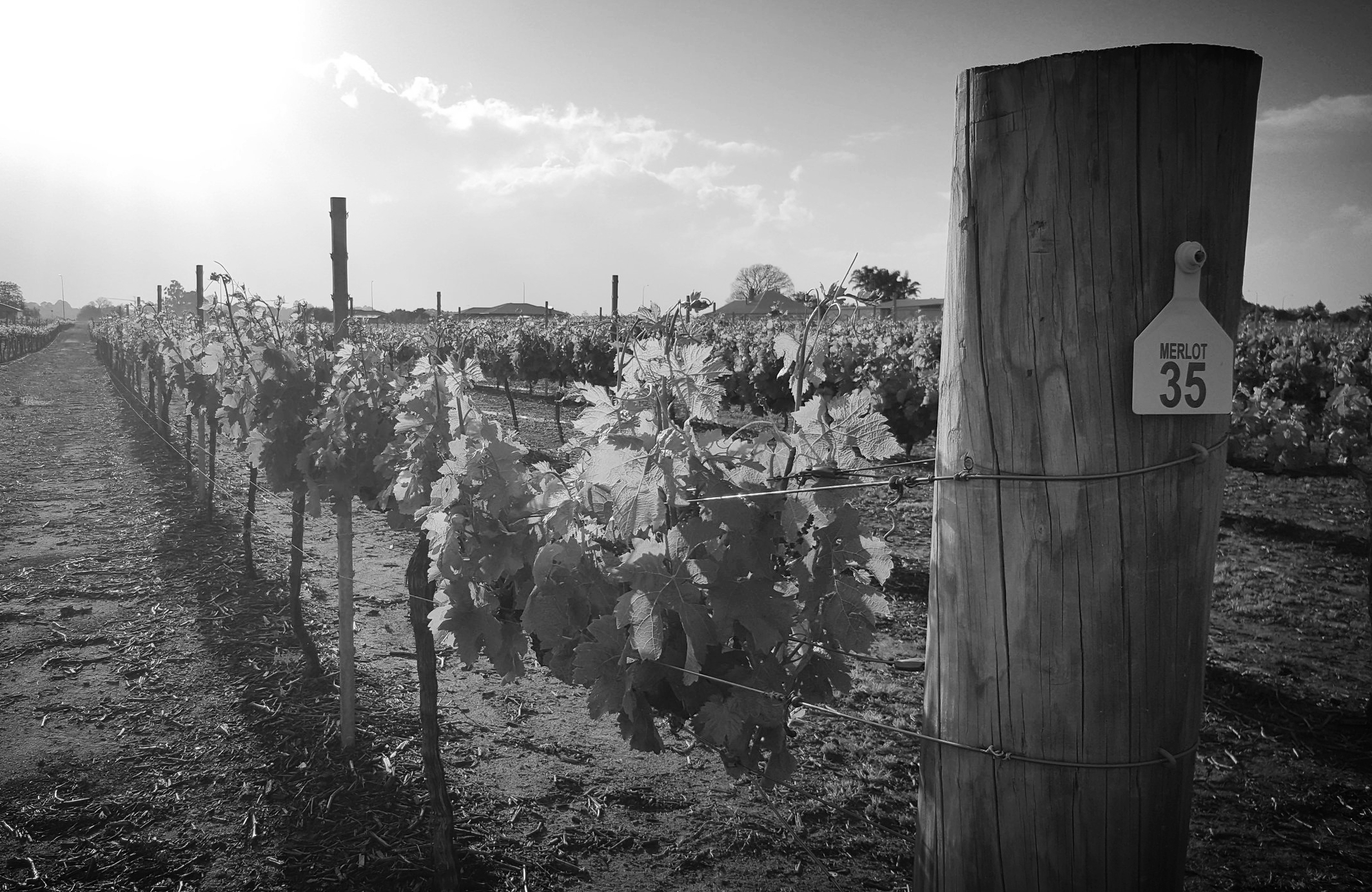 In 1829 - Olive Farm Wines was established by English botanist, Thomas Waters, making it the oldest winery in Western Australia